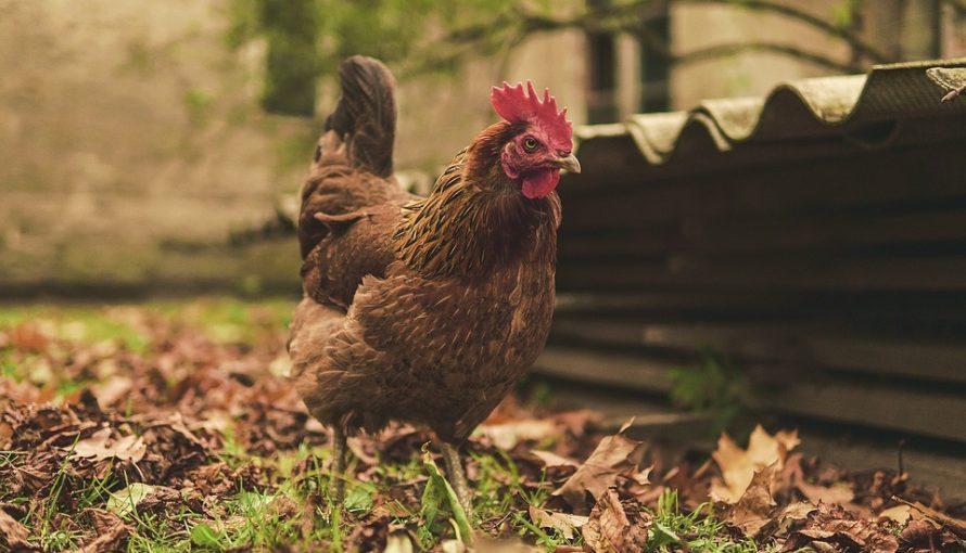10 Trucs A Ajouter A Votre Poulailler Gouter Au Jardin